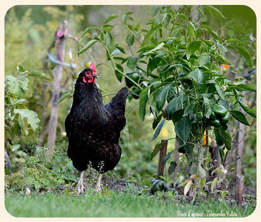 25 best ideas about trois petits oiseaux sur pinterest for Qu est ce que mange une poule