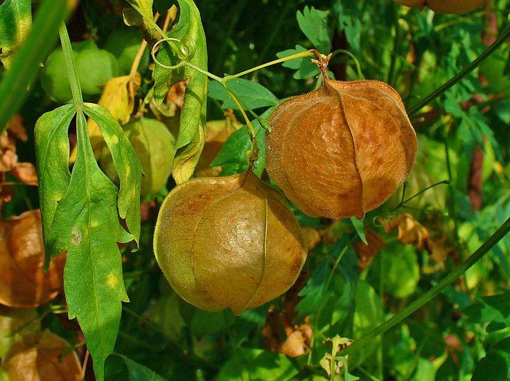 In der Homöopathie gibt es Cremes mit einem ähnlichen Effekt wie Cortison oder Kortikoid. Der Wirkstoff ist Cardiospermum halicacabum (Herzsame/ Ballonrebe) aus den blühenden Pflanzenteilen in Urtinktur.