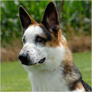 Panda-Tri color German shepherd dog - - Yahoo Image Search ... |Tri Color German Shepherd Breeders