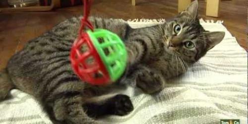 Een kat is dol op actie, beweging. Speelt graag met zijn klauwen en jaagt graag. Speel 15 min. per dag met uw huiskat. Speel nog meer met hem als hij klein is.