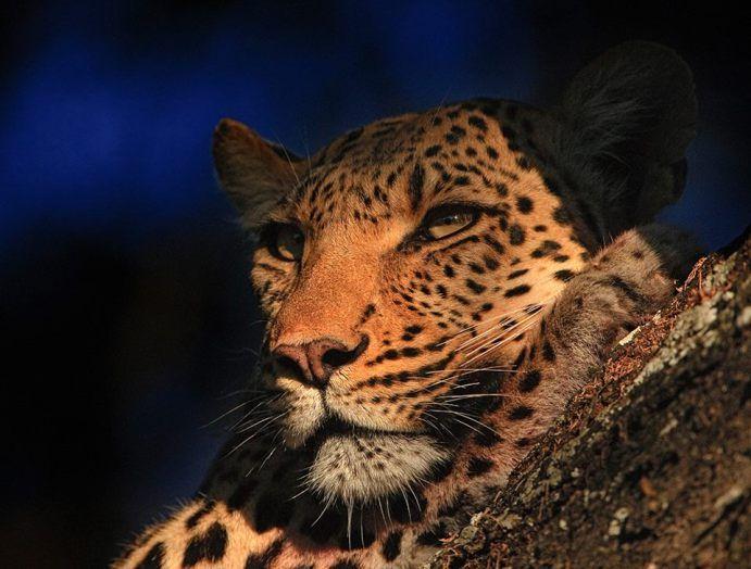 Леопард Дельта Окаванго, Ботсвана Сергея Горшкова…