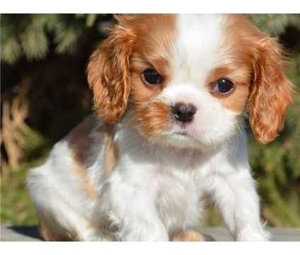 gtfdhghjdsh Cavalier king charles spaniel puppies for sale is a Female, Male Cavalier King Charles Spaniel For Sale in Lincoln Heights CA
