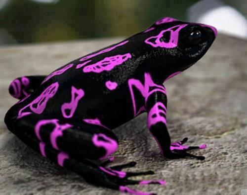 Grenouille arlequin Jaune, vert, orange, autant de couleurs dont usent les grenouilles arlequins pour prévenir de leur toxicité (pas touche). Ce petit amphibien, d'à peine plus de trois centimètres, vit au coeur des forêts humides d'Amérique Latine. Sédentaire, on le trouve surtout près des cours d'eau, mais leur nombre s'amenuise de jour en jour.