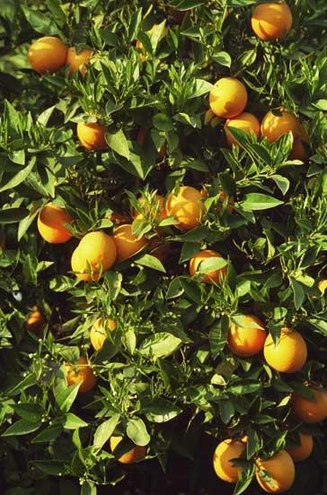 orangesFood Recipes, Orange Food, Dark Orange, Orange Trees, Orange Смотреть, Clockwork Orange
