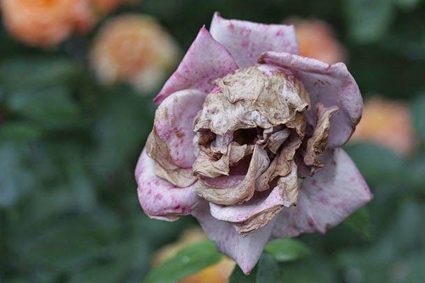 Real skull rose