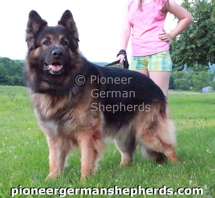 Large German Shepherd Ash, 135 lbs and 9 years old in pic.