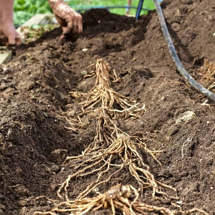 Plant Asparagus From Bare Root Crowns Homemade Food 400 x 300