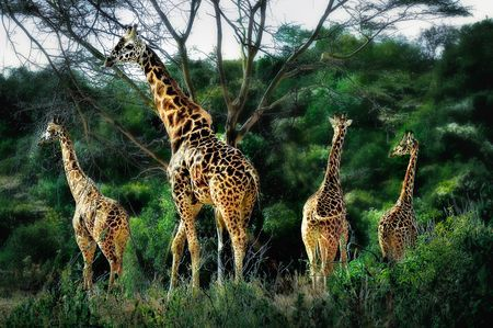 Rothschild giraffe sanctuary. Kenya Photo by Nora de Angelli - www.noraphotos.com -- National Geographic Your Shot