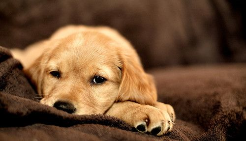 aw....come snuggle by me! :)Dogs, Lazy Day, Puppies Eye, Labrador Puppies, Labs Puppies, Baby Puppies, Animal, Puppies Face, Golden Retriever Puppies
