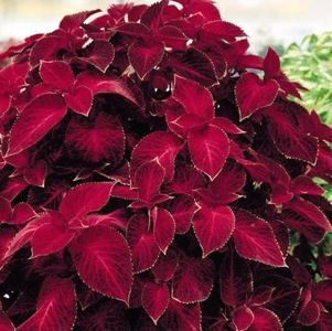 Coleus, Pink Chaos: Solenostemon (coleus) is a genus of flowering plants in the family Lamiaceae. Description from pinterest.com. I searched for this on bing.com/images