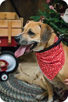 Arlington, VA - Beagle/Boxer Mix. Meet Daisy, a dog for adoption. http://www.adoptapet.com/pet/17462051-arlington-virginia-beagle-mix