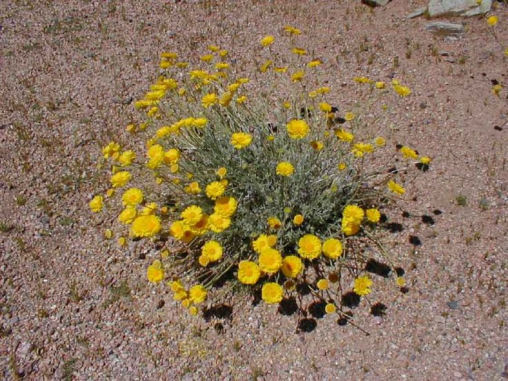 17 Best images about Desert Plants on Pinterest   Pheonix arizona, Pears and Mount whitney