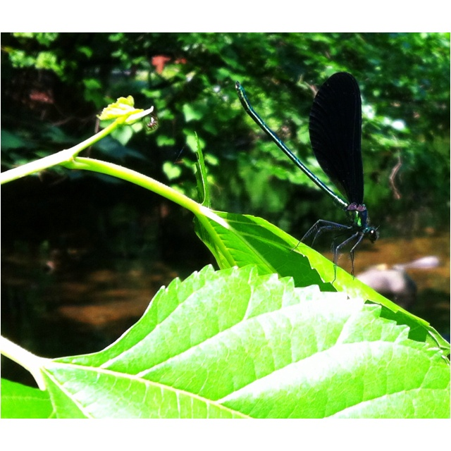 Black winged damselfly enjoying the same river I am