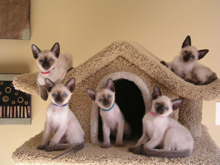 Beautiful Siamese Cats | They're Beautiful! Traditional Siamese Kittens For Sale