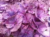 'Peppermint Swirl'  This  hydrangea variety  features an upright, mounded habit and spectacular peppermint candy variegation with pink and red-purple flowers.