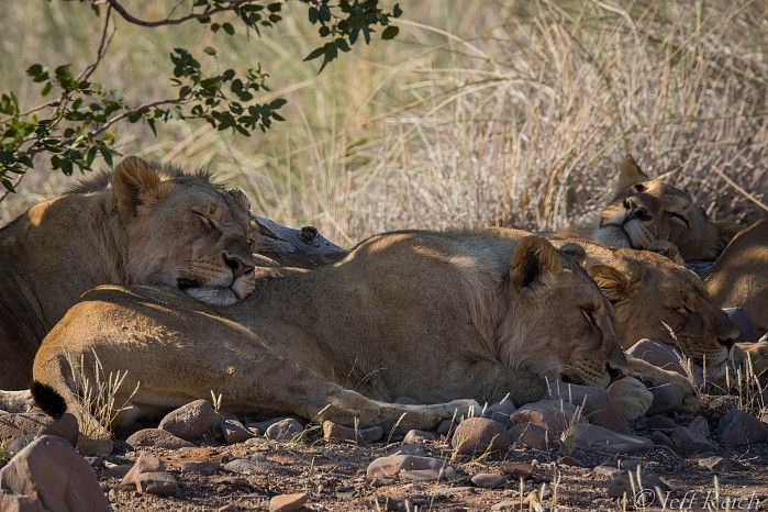 Desert-adapted-lion-pride-at-Desert-Rhino-Camp #Namibia #safari