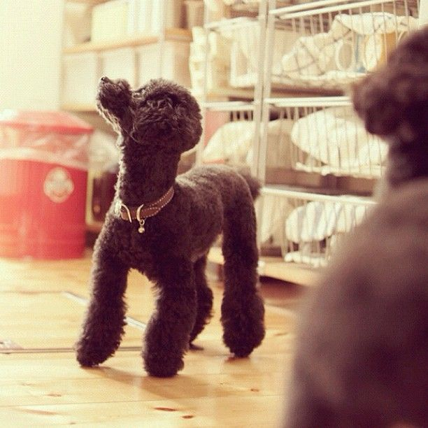 Poodle ...from @ancoron on instagram