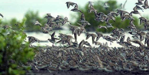 Traveling Unik Melihat Migrasi Jutaan Burung