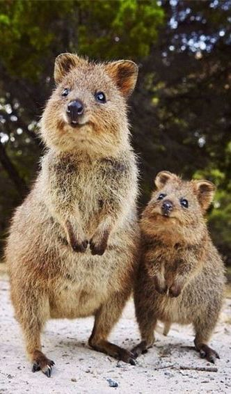 VULNERABLE: mother & baby quokka; these adorable marsupials are native to Australia and are threatened by introduced predators and bush fires.
