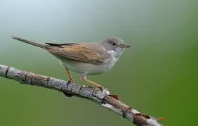 Garden warbler - садовая славка