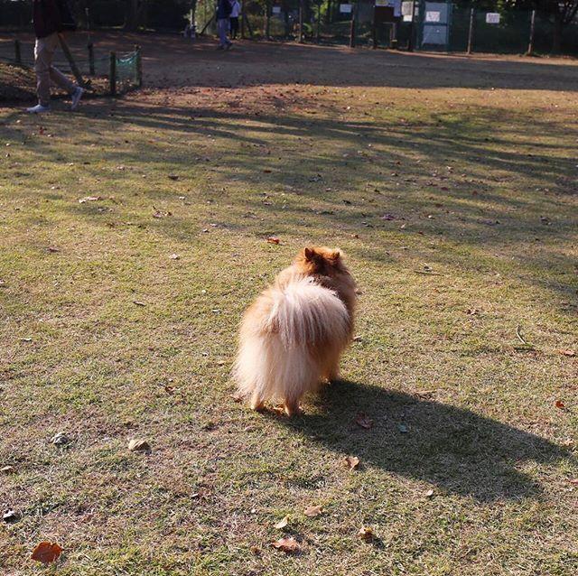 🐾 #哀愁漂う背中 🍂 . #ポメラニアン #ぽめ #犬 #わんちゃん #たぬき #愛犬 #ポメラニアンが世界一可愛い #犬バカ部 #ふわもこ部 #カメラ女子 #カメラ日和 #ファインダー越しの私の世界 #写真好きな人と繋がりたい #写真部 #写真撮ってる人と繋がりたい #犬好きな人と繋がりたい #秋 #Nikon #puppy #happy #pomeranian #pom #pomeranianworld #dog #Instadog #petstagram #tagsforlikes #멍스타그램 #개스타그램