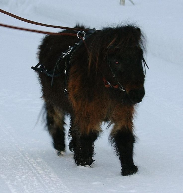 Brown Miniature Shetland pony mare