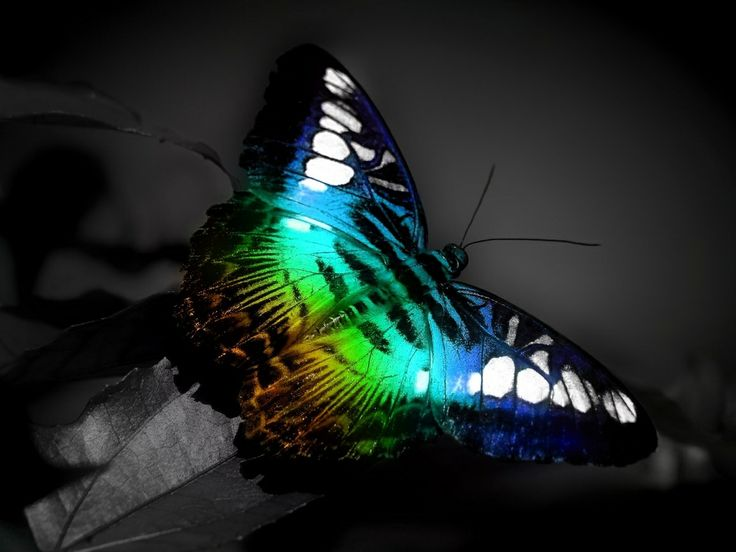 http://pinterest.com/NancyStyles/where-i-feel-good/ wow what a beauty amazing nature nature of god jazz of life: Beautiful Butterflies, Amazing Natural, Rainbows, Colors Animal, Butterflies Wings, Desktop Wallpapers, Photo, Monsters Energy, Peacock