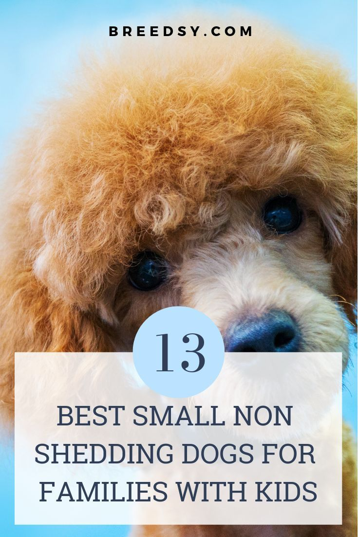 13 Best Small Low To Non Shedding Dogs For Kids Babies With