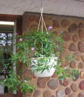 Asystasia varia (grows in full shade)