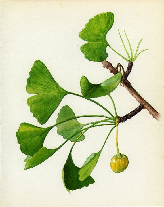 Vintage Tree Print, Maidenhair or Ginkgo, Living Fossil, Botanical, Nat History Book Plate, Framing, 1969, Choc