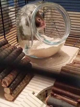 Image result for syrian hamster sand bath