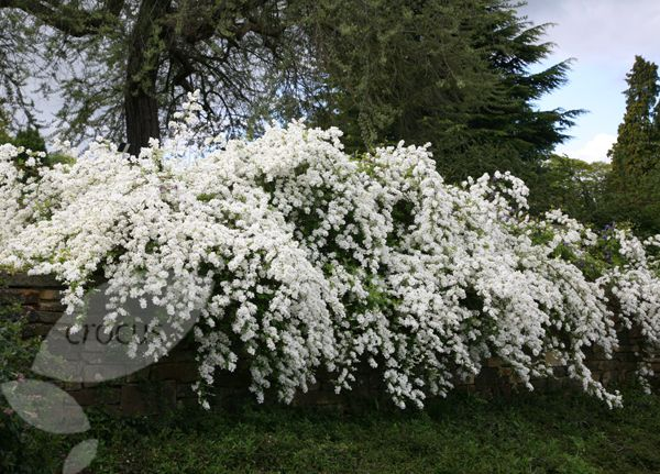 Exochorda X Macrantha The Bride A Bushy Perennial