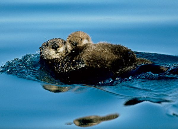 Newborn sea otters can float, but they can't swim. Mothers balance them on their stomachs.