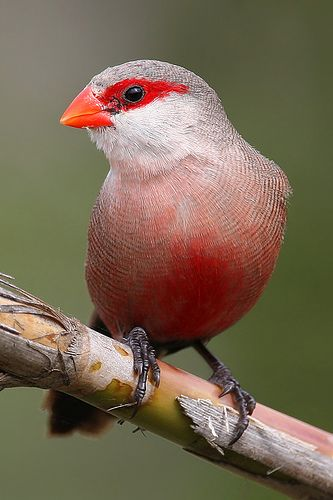 Common Waxbill is an estrildid finch native to sub-saharan Africa