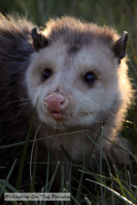 Photo of an older, adult opossum.