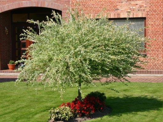 Harlekinweide / Zierweide 'Hakuro Nishiki' - Salix integra 'Hakuro Nishiki' /Japanisch Weide