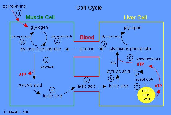 The Cori cycle (also known as the Lactic acid cycle), named after its discoverers, Carl Ferdinand Cori and Gerty Cori, refers to the metabolic pathway in which lactate produced by anaerobic glycolysis in the muscles moves to the liver and is converted to glucose, which then returns to the muscles and is metabolized ..