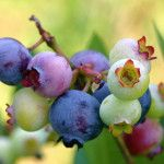 Kinds of berry you must know
