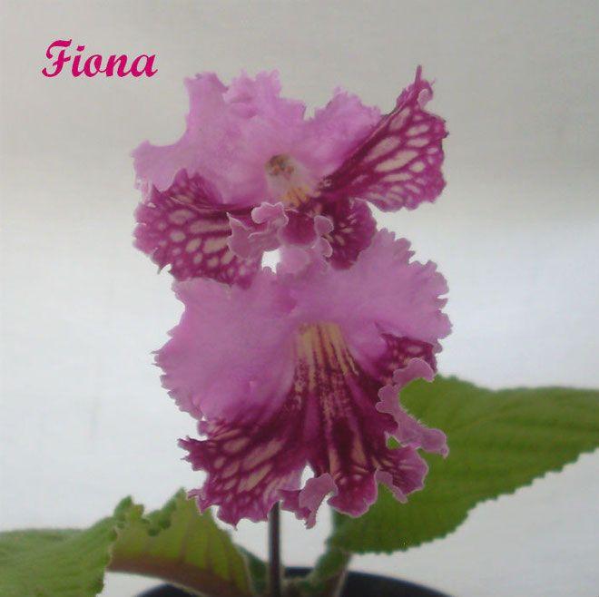 Fiona (P. Kleszczynski) | Цветок