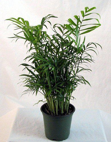 entracing palm tree type house plant. Victorian Parlor Palm  Chamaedorea Indestructable 4 Pot FREE SHIPPING 27 best Houseplants images on Pinterest Mother in law tongue