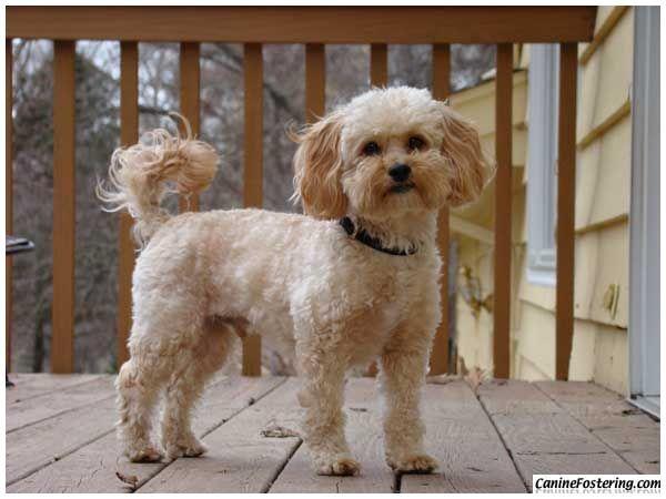 Top 22 Pug Dog For Sale Shih Poo Pug Dogs For Sale Shih Poo Puppies