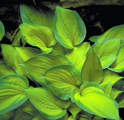 """Hosta """"Tick Tock"""" 10' tall, 18"""" wide...got excited when I saw a 10' hosta but think it is an error in typing on the web site. I still love the colors of this one."""