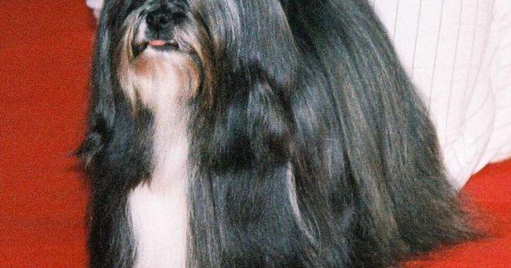Como identificar um cão da raça lhasa apso. O lhasa apso foi criado inicialmente como um cão de guarda, protegendo as famílias da nobreza tibetana nas montanhas do Himalaia. Eles são cães vigia caseiros e estão sempre atentos a estranhos. Se você quiser que um lhasa apso seja sociável com outras pessoas e animais, socialize-o desde filhote. Leve-o à loja de animais, ao parque de cães e a ...
