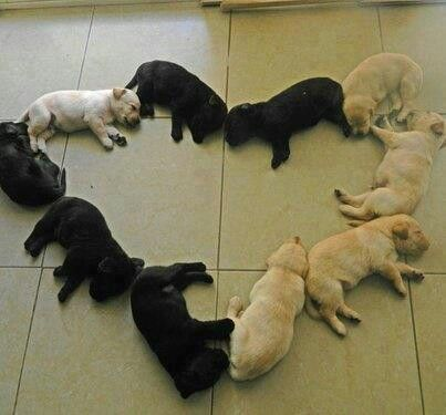 Heart shaped pile of Labrador puppies