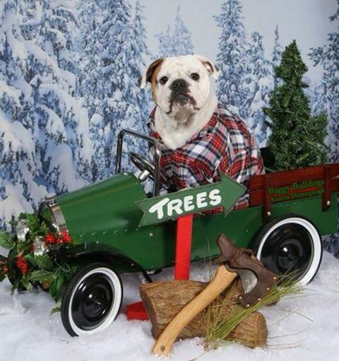 Baggy Bulldogs Xmas Photo and Video Collection: https://baggybulldogs.wordpress.com/2014/12/25/merry-xmas-everybully/#more-17045
