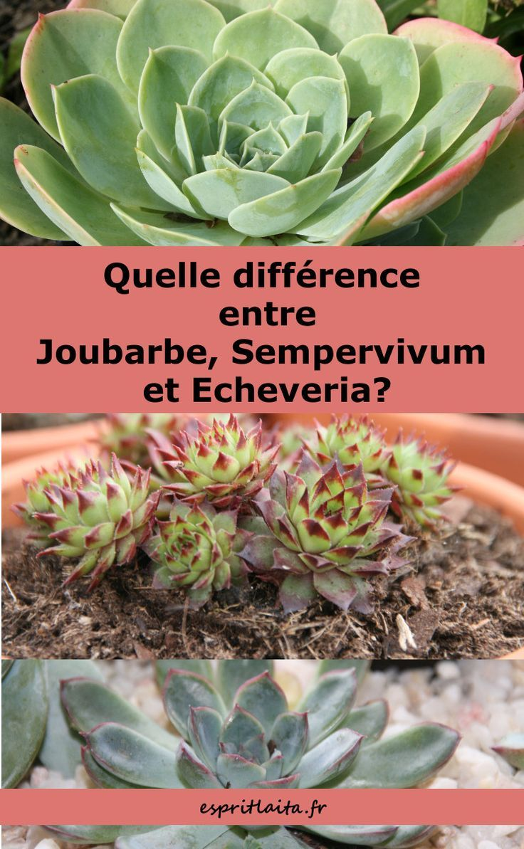 Difference Echeveria Joubarbe Et Sempervivum Sempervivum
