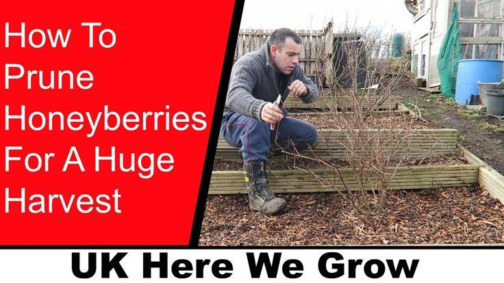 How to Prune Honeyberries For A Huge Harvest