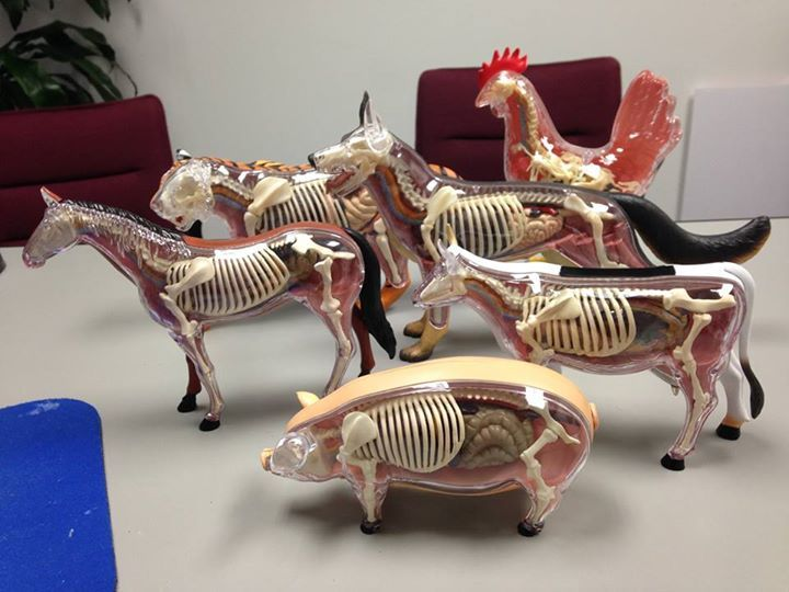 i really want these animal anatomy models