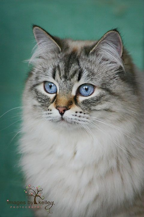 Siberian Forest Cat with stunning blue eyes