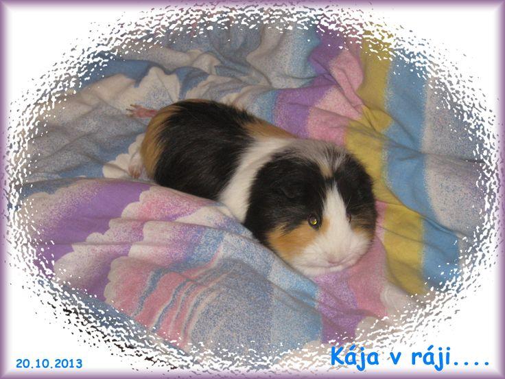My guinea pig. She name is Kaja.